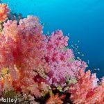 Pink Soft Coral Fiji
